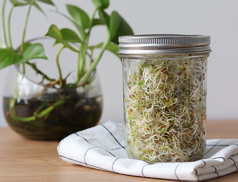 Alfalfa in a jar