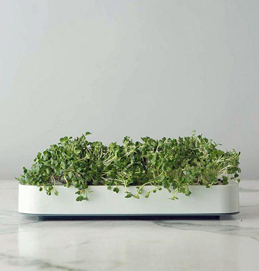 microgreens in tray