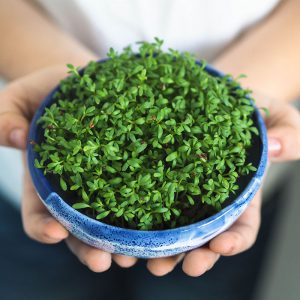 Grown Garden Cress in soil medium. Microgreens.